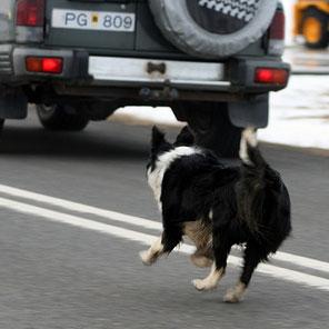 dog-chasing-car1